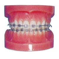 Buy cheap Orthodontic Human Teeth Model for Hospitals And Dental Hospital Training from wholesalers