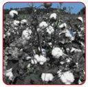 Wholesale Cotton from china suppliers