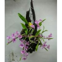 Wholesale CLAY FLOWERS ORCHID(Dendrobium parishii) 2 from china suppliers