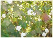 Wholesale Raw Cotton from china suppliers